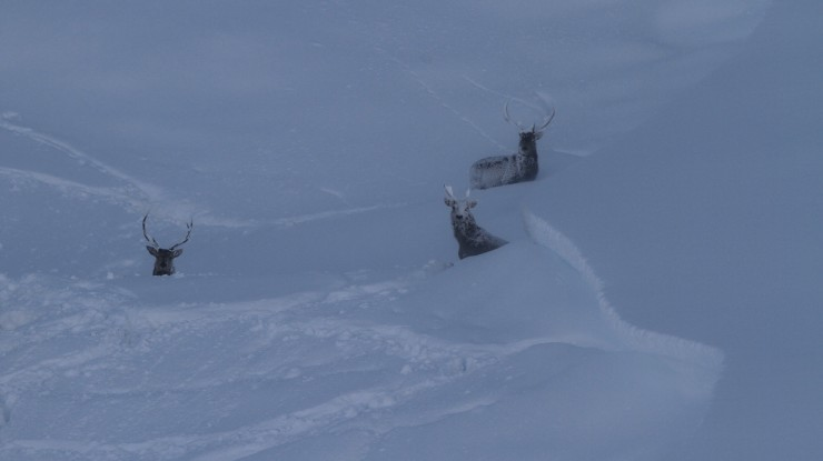 Stags finding shelter. Note the crownwall. Often there are avalanches here, probably caused by the deer.