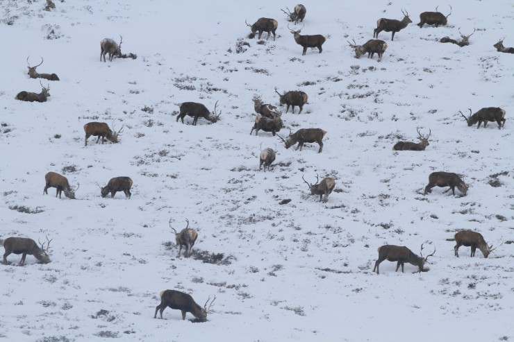 Plenty deer in the Glens today. a sure sign the weather is wild on top.