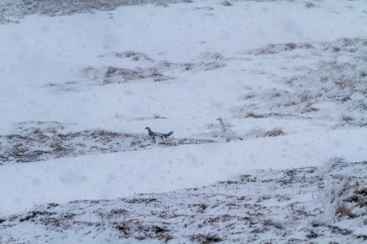 The ptarmigans camouflage  looking good in the showers!