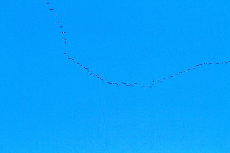 Geese heading North.