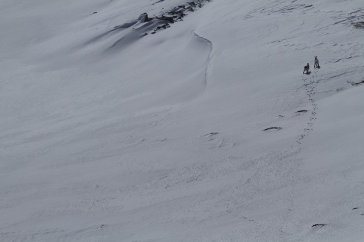 Two mountain hares crossing over a newly developed windlip.