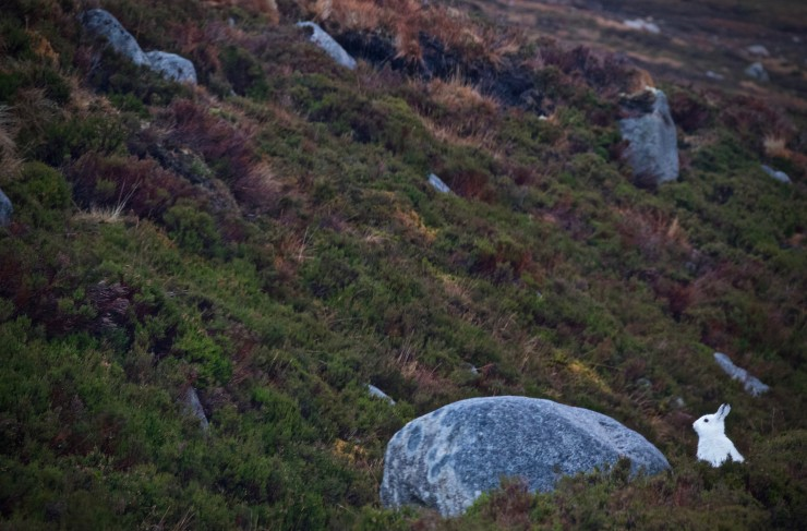Mountain hare finding it difficult to hide.