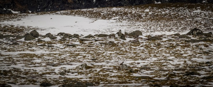 Mountain hare, not quite as white,