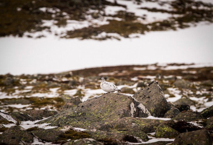 Ptarmigans changing colour too.